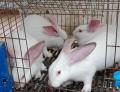 供蘭州獺兔和甘肅法系獺兔廠