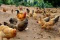 鮮雞放心雞直送批發 廣州全市配送好產品雞品 雞品咨詢