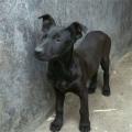 出售黑狼犬狗崽图片 两三个月小黑狼犬价格怎么卖