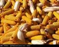 采購大量玉米、稻谷