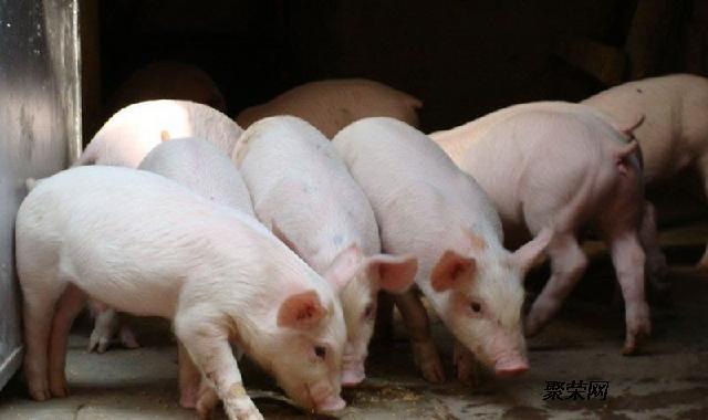 可爱猪吃东西图片
