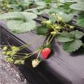 山东菠萝莓草莓苗批发