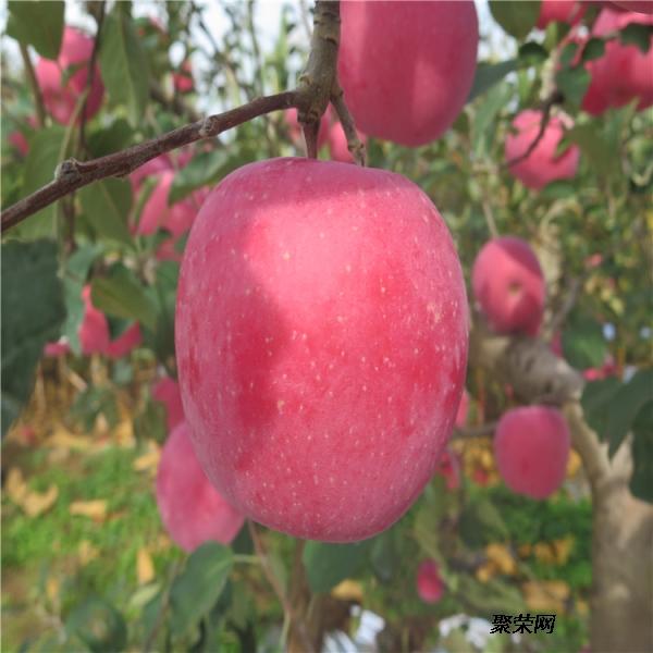 山東煙富8號蘋果樹苗、山東煙富8號蘋果樹苗價錢