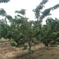 黄蜜樱桃树苗出售¡¢2019年黄蜜樱桃树苗价格
