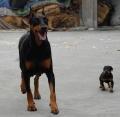云南红河州本地狗场常年繁殖出售杜宾犬德系杜宾犬
