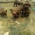 出售比特犬狗崽图片 两三个月小比特犬价格怎么卖