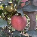 懒富苹果树苗基地