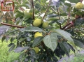 6cm柿子樹苗供應、6cm柿子樹苗種植技術