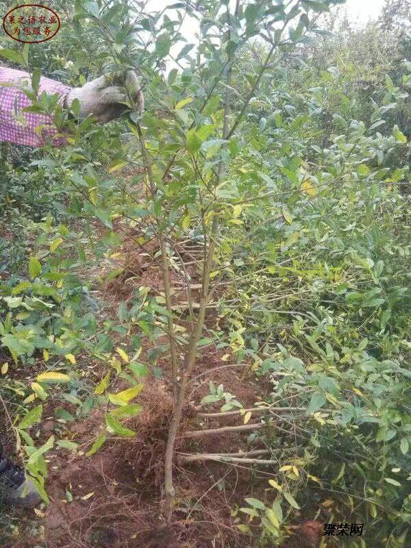 蒙陽紅石榴樹種植技術、蒙陽紅石榴樹種植技術