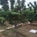 吉塞拉樱桃树苗报价、2019年吉塞拉樱桃树苗价格