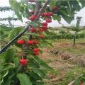 兩年生一公分烏克蘭櫻桃苗報價