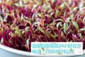 芽苗菜技術老師為大家介紹西瓜粥的具體做法以及功效
