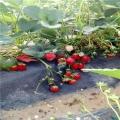 2019年美十三草莓苗价格¡¢美十三草莓苗多少钱一棵