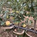 山东新品种苹果树苗