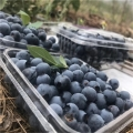 奧尼爾藍莓苗、2020年奧尼爾藍莓苗報價一覽表