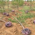 4公分大樱桃苗价格¡¢4公分大樱桃苗多少钱一棵