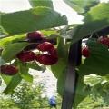 3、4、5公分矮化先鋒櫻桃苗出售
