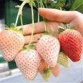 小白草莓草莓苗專業種植模式介紹