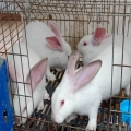 甘肅蘭州肉兔廠