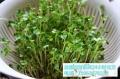 益康園芽苗菜老師教你豌豆芽苗多次采收的做法