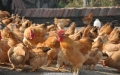 鮮雞屠宰好的雞批發直供 廣州配送冰鮮雞點專業 雞咨詢