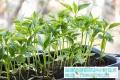 芽苗菜種植老師為我們普及地瓜葉的功效與作用
