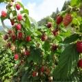 樹莓苗專業種植模式指導