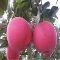 黑鉆蘋果樹苗今年報價