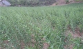 云南嘉農年華滇圣草黃精種植不受季節及環境影響