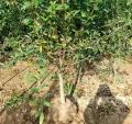 墨石榴樹供應、墨石榴樹品種齊全