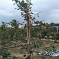 紅太陽梨苗基地