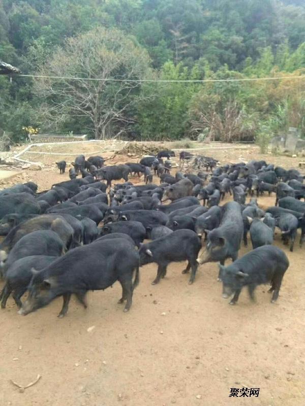 藏香猪养殖技术视频在线观看必看啪啪啪游戏视频图片