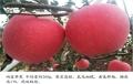 四公分蘋果樹批發、四公分蘋果樹報價