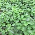 京桃香草莓苗批发价格