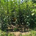 黑柿子苗價錢及報價