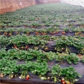 大白草莓苗、大白草莓苗价格