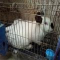 供甘肅肉兔和甘肅種兔廠