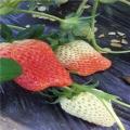 达赛草莓苗、达赛草莓苗价格