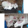 供蘭州種兔與甘肅肉兔批發