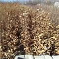 九家種板栗苗、2020年九家種板栗苗基地