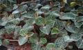 云南嘉農年華滇圣草金線蓮種植一年四季均可種植