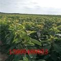 黑珍珠櫻桃苗、黑珍珠櫻桃苗育苗方法和時間