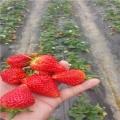 白雪天使草莓苗��白雪天使草莓苗价格及报价