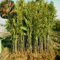 紅油香椿苗、3公分香椿苗批發商
