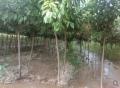 出售地徑3公分李子樹