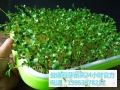 益康園芽苗菜種植技術老師分享花生芽苗菜的具體種植步驟