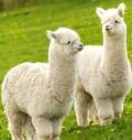 羊駝毛進口報關清關的所需單證和注意事項