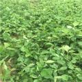 山东太空2008草莓苗多少钱一株