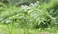 云南嘉農年華滇圣草黃精種植不需要有豐富經驗