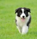 邊牧訓練惠州那里有賣邊牧牧羊犬